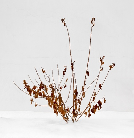 Dry bush against a white wall, below the snow photo