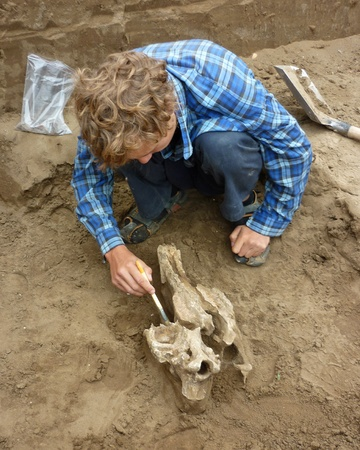 archaeologist: A young man archaeologist unearths the skull brush woolly rhino