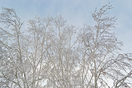 Twigs covered with snow on the background of white sky. close-up photo