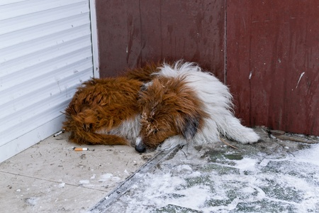 homeless dog red color, sleeping on the street photo