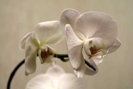 orchid house: white orchid Stock Photo