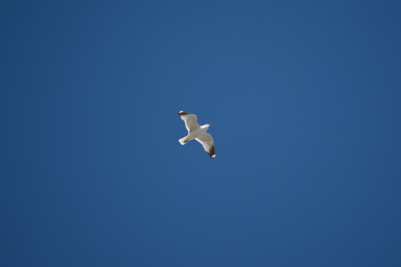 seagulls: flight of the lonely seagulls on blue sky background