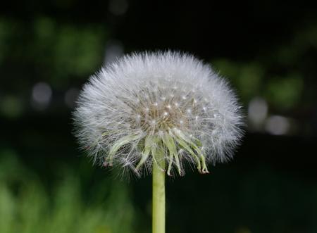 big fluffy white dandelion close up photo
