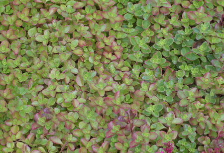 oblong: plant background of the oblong green-red leaves Stock Photo