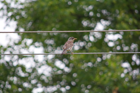 catbird: catbird with a dirty beak sitting on wires Stock Photo