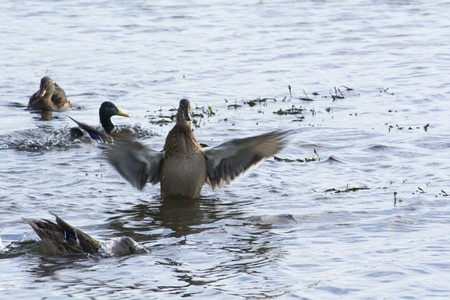 water wings: big duck flaps its wings and shakes off water after diving