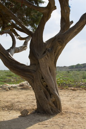 fulfilling: wish fulfilling tree is a very old juniper in Cyprus
