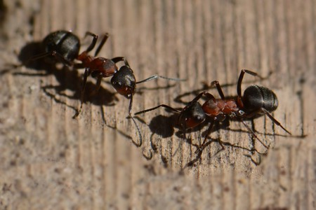 macro: a conversation between two ants on a wooden background, macro