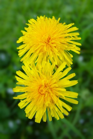 two large and fluffy bright yellow flower of dandelion
