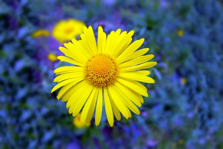 large bright yellow flower closeup on a background of small purple flowers