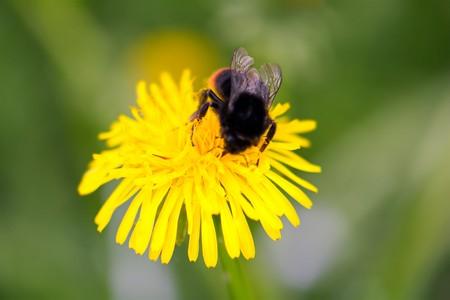 big  bright bumblebee closeup on a bright yellow dandelion Stock Photo