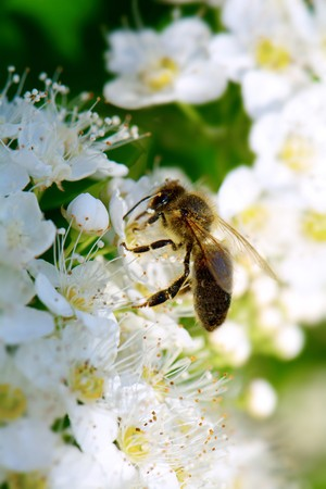 bee collects nectar on a white lush flower of spirea