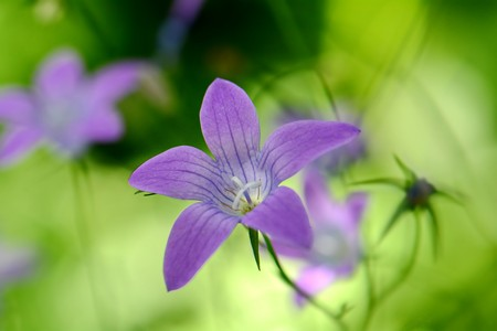 bright purple flowers bells floating in the air Stock Photo