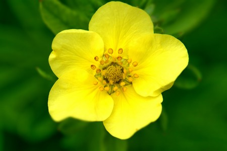 bright yellow Potentilla flower close-up