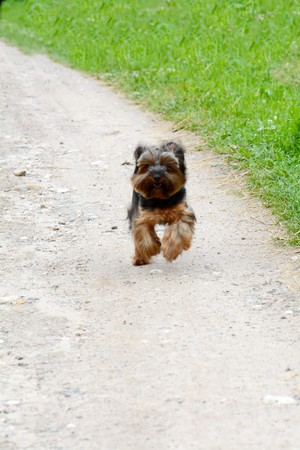 Yorkshire Terrier running down the road Stock Photo