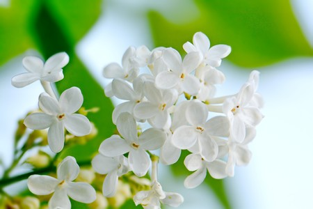 bright lush flowering branch of white lilac Stock Photo