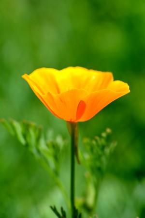the bright yellow flower Elsholtzia closeup