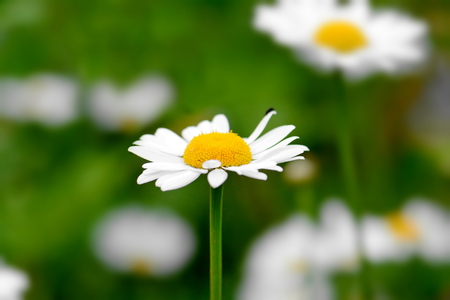 blooming bright white daisy close-up Stock Photo