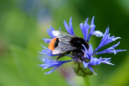 large, bright blue flower and a big bumblebee