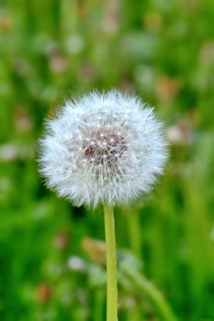 bright fluffy white dandelion closeup, macro