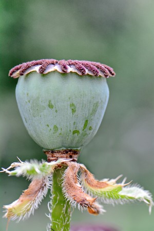 bright poppy capsule with seeds closeup