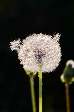 bright white fluffy dandelion with a seed on top backlit