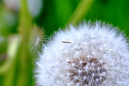 bright white fluffy dandelion with a seed on top closeup