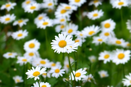 a lot of bright blooming white daisies