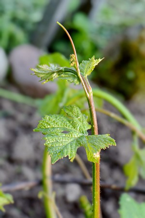 bright juicy grape vine sprout close up