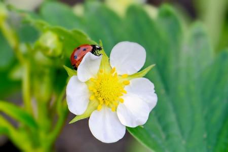 bright small flower strawberry and ladybug closeup, macro