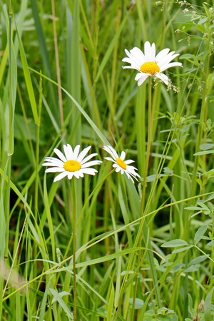 bright blooming white daisies in green grass Stock Photo