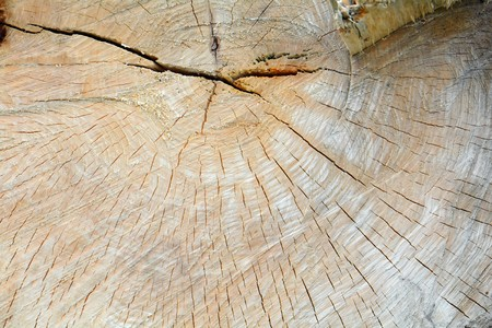 cut of a large old tree with annual rings