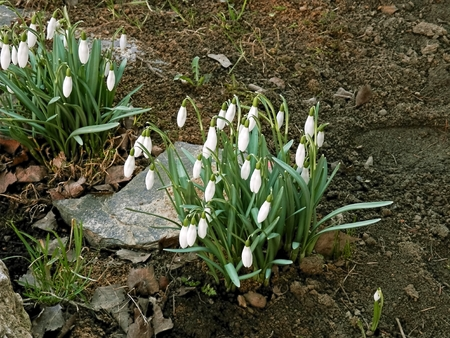 proclaim: Spring time and the first snowdrops are reported to live to proclaim the power of nature and plants.