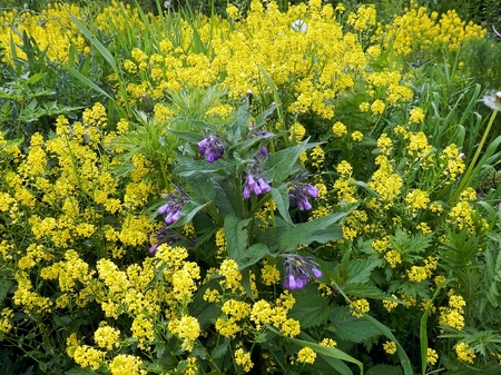 chalices: The herb Comfrey grows Between yellow flowers euphorbia plants on a summer meadow.