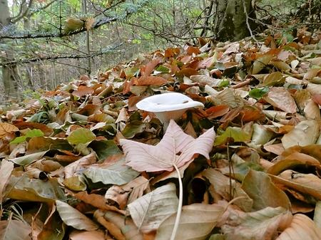 predilection: Mushrooms that grow in the summer in the forest with leaves around. Stock Photo