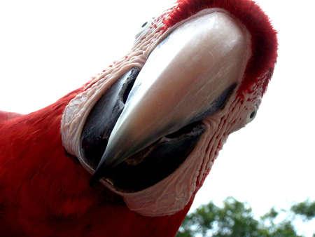 psittacidae: Loro, amazon parrot (venezuela) Stock Photo