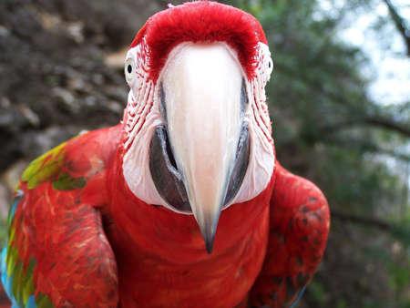 psittacidae: loro, amazon parrot (venezuela)