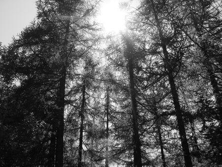 bw: Sun between the trees Stock Photo