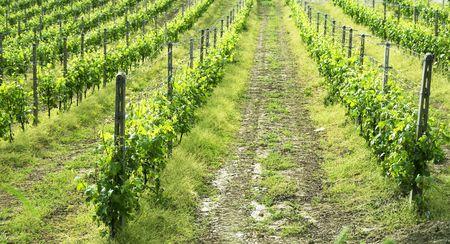 Regular vine of Grignolino, Italian hill