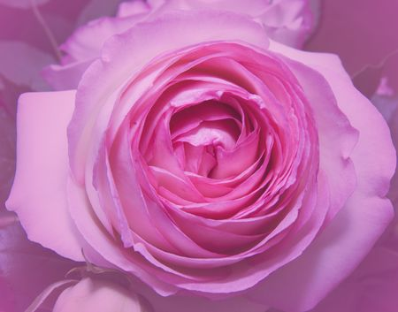 Close up of pink rose with blurred background