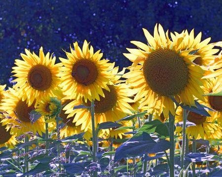 Closeup of a field of sunflowers