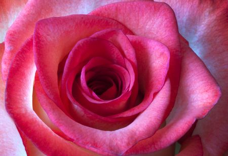 Closeup of a pink or light red rose Stock Photo