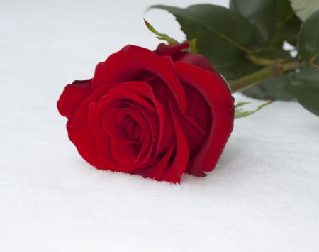 Close up of a red rose over the snow
