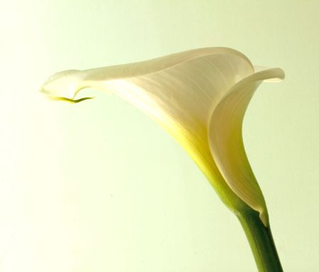 Closeup of a calla flower over light green background