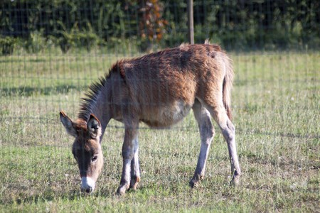 Lonely donkey eating grass behind a fence photo