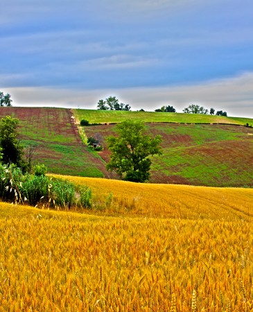 Landscape of a HDR field of wheat, with trees in the background photo