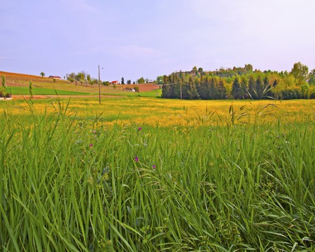 Field of grass, with many yellow flowers and trees on the background Stock Photo - 8130448