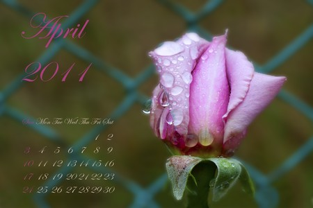 Page of 2011 calendar for April, with pink rose over green photo