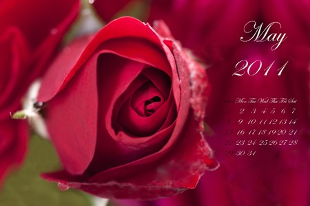 Page of 2011 calendar for May, with red rose Stock Photo - 8130470