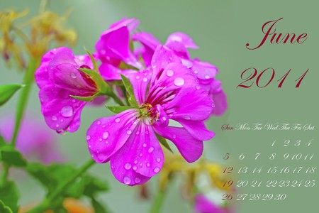 Page of 2011 calendar for June, with pink geranium over green photo